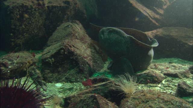 Wolf eel (Anarrhichthys ocellatus) retreats into crevice, Vancouver Island, BC, Canada
