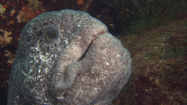 wolf eel (anarrhichthys ocellatus) snatches sea urchin from rock, vancouver island, bc, canada - fish stock videos & royalty-free footage