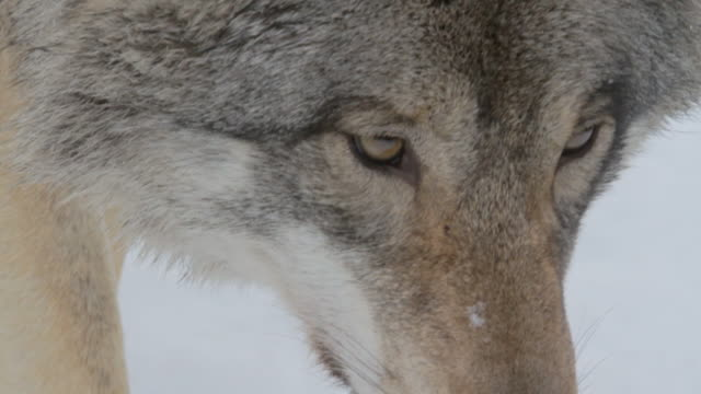Wolf eyes in the snowy Boreal forest