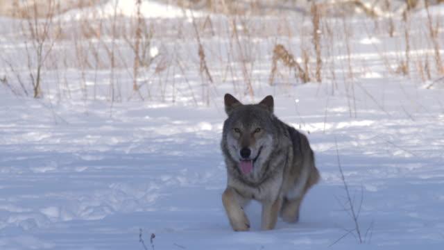 オオカミはカメラに進む - 動物の頭点の映像素材/bロール