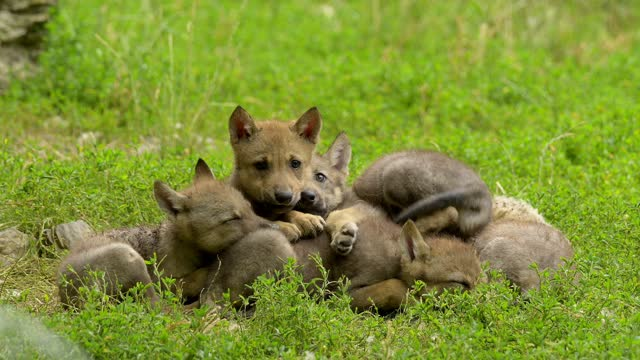 wolf, group of young wolves - group of animals stock-videos und b-roll-filmmaterial