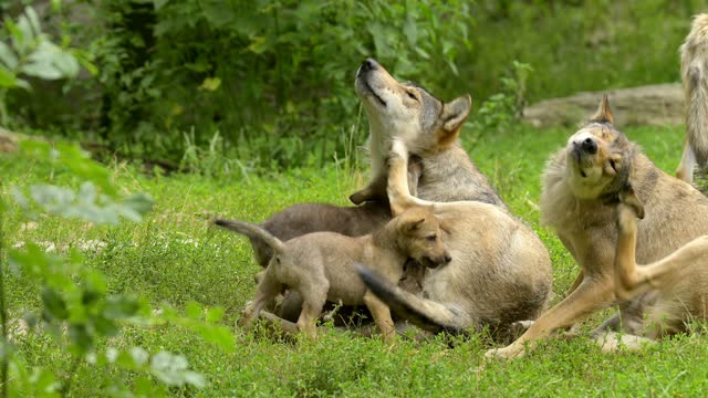 wolf, group with young wolves - raubtierjunges stock-videos und b-roll-filmmaterial
