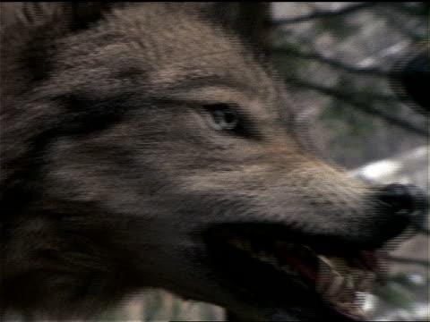 vidéos et rushes de a wolf growls and bares its teeth. - mordre