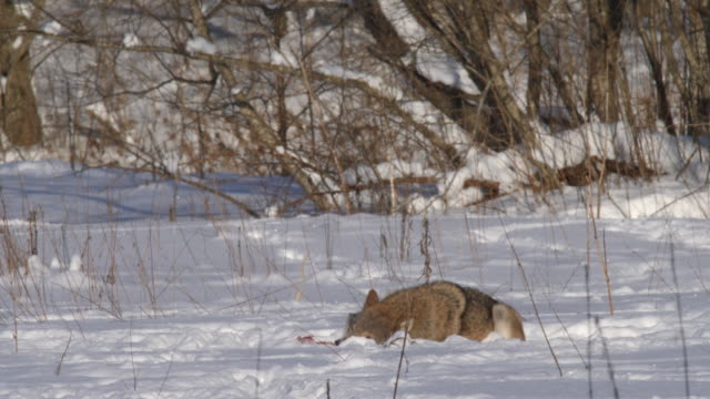 wolf hiding in snow - aggression stock videos & royalty-free footage