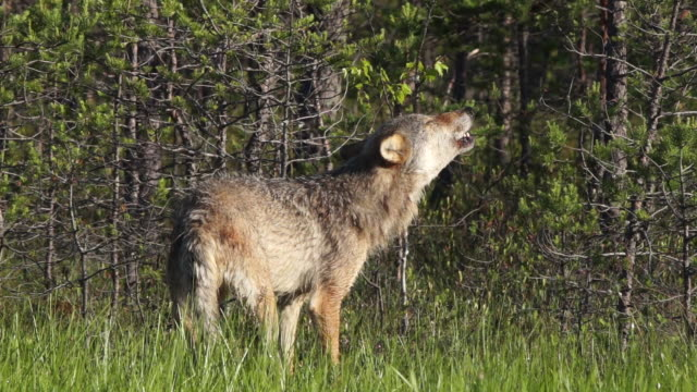 vídeos y material grabado en eventos de stock de lobo aullando en el pantano - small group of animals