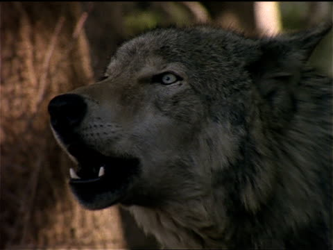 a wolf howls into the air. - wolf stock videos & royalty-free footage