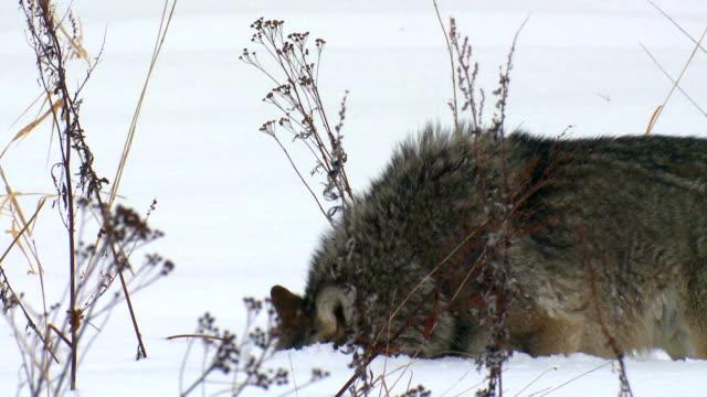 vidéos et rushes de wolf de chasse - manteau et veste