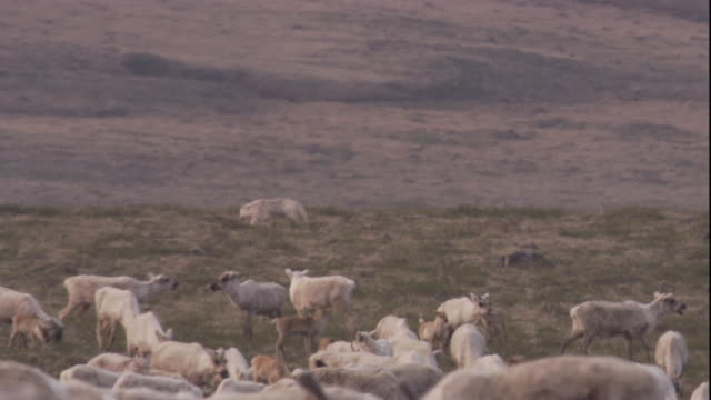 a wolf hunts a migrating caribou herd on the tundra in nunavut, canada. available in hd. - herd stock videos & royalty-free footage