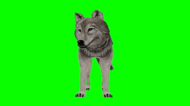 Wolf Idle Green Screen (Loopable)