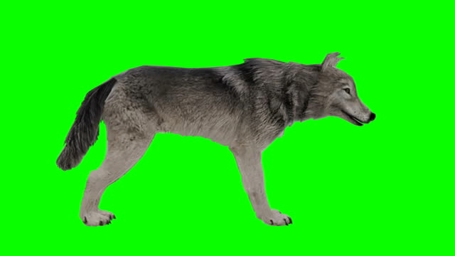 wolf idle green screen (loopable) - dog tail stock videos and b-roll footage