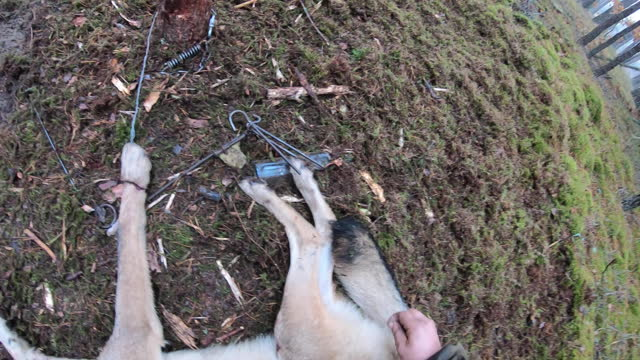 wolf in a noose snare trap. catching wild wolves for releasing them in belarus - wilderness stock videos & royalty-free footage