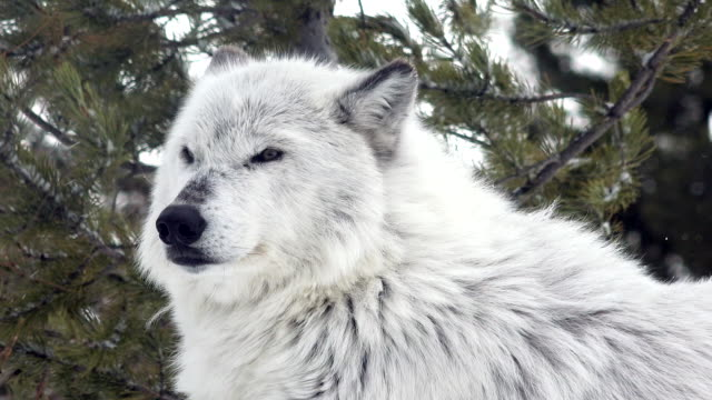 Wolf in profile, Wyoming, winter