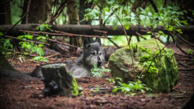 wolf in den wald  - wildnis stock-videos und b-roll-filmmaterial
