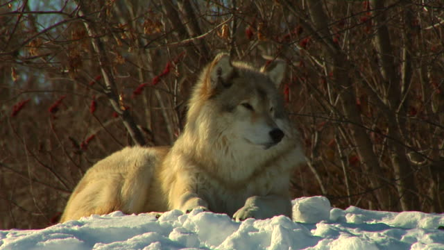 wolf in winter - mammal stock videos & royalty-free footage