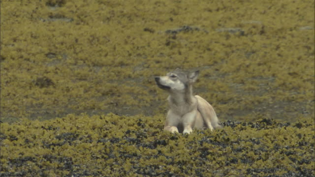 A wolf lies on a bank covered with seaweed.