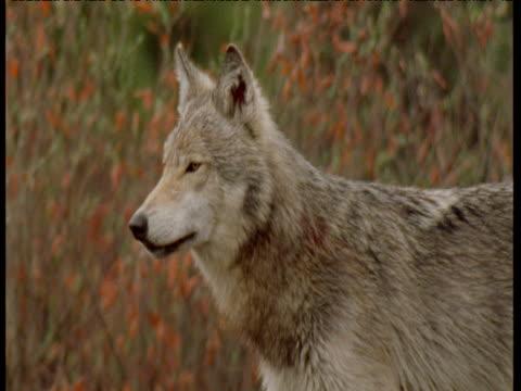 Wolf looks around and howls twice, Alaska