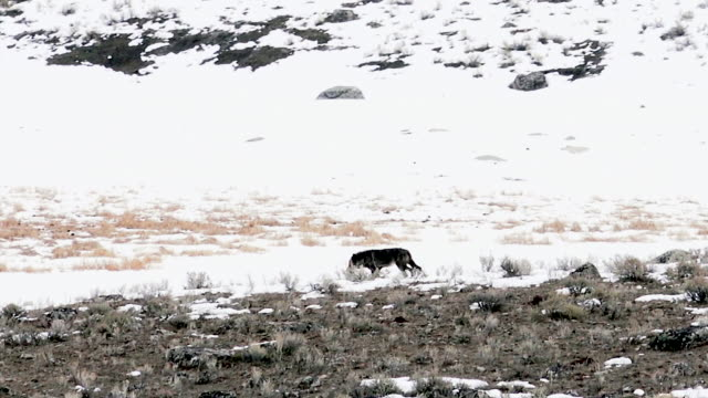 Wolf moving left, Yellowstone National Park, Wyoming, winter