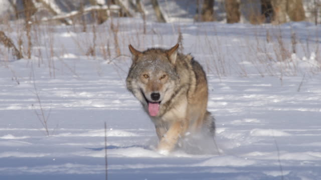 カメラの移動のオオカミ - 歯をむく点の映像素材/bロール