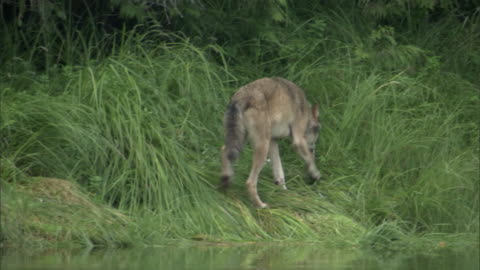 a wolf noses around a grassy riverbank and urinates. - harnapparat stock-videos und b-roll-filmmaterial