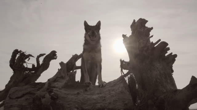 w/s wolf on a dead tree, backlight - one animal stock videos & royalty-free footage