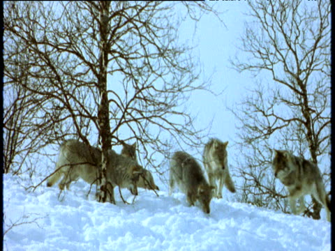 Wolf pack dig and sniff in snow, Scandinavia