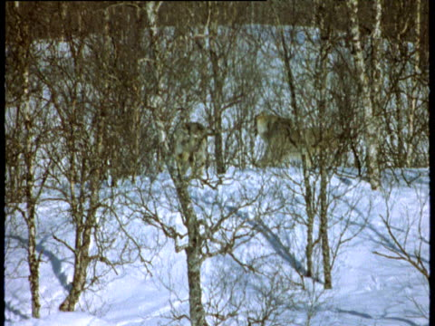 Wolf pack trots off into snowy wood, Scandinavia