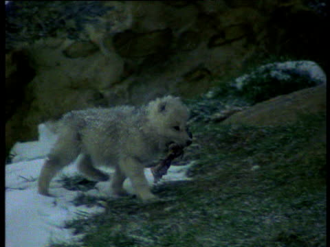 wolf pup with bone in mouth, walks over rocks and lies down to feed, snowing, ellesmere island, canada. - sdraiato video stock e b–roll