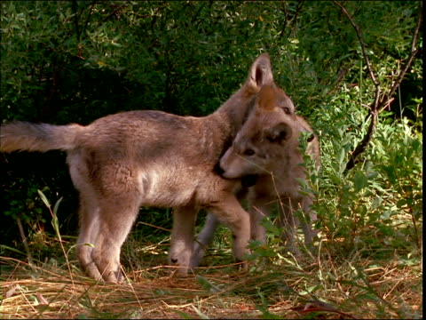 wolf pups play and nip at each other in a forest. - other stock videos & royalty-free footage