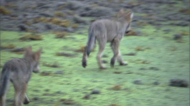 wolf pups trot along a riverbank. - coastal feature stock videos & royalty-free footage