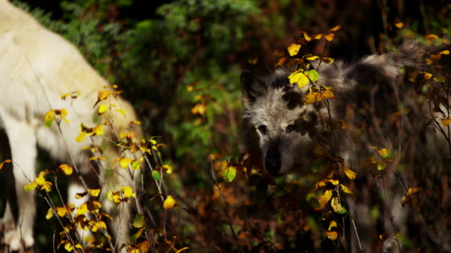 wolf roaming natural wilderness habitat hunting for food - ökotourismus stock-videos und b-roll-filmmaterial