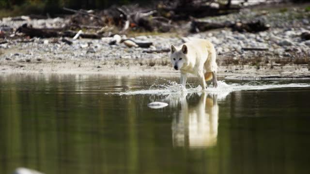 Wolf roaming wilderness river habitat hunting for food