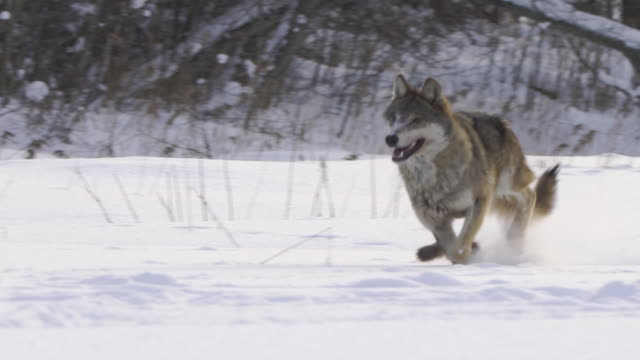 Wolf running forward to camera, snowing, slomo