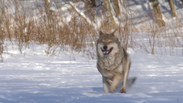 Wolf running forward to cameraman