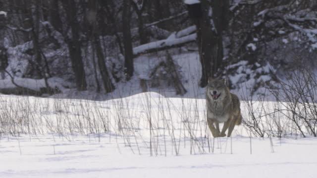 Wolf läuft vorwärts an Betreiber