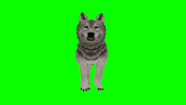 vidéos et rushes de wolf running green screen (loopable) - crier
