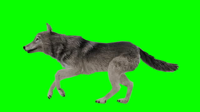 vídeos de stock e filmes b-roll de wolf running green screen (loopable) - perfil vista lateral
