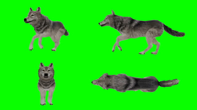 Wolf Running Green Screen (Loopable)