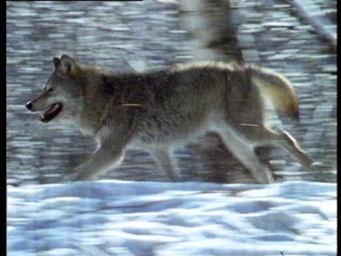 Wolf runs through snow to second wolf, CIS