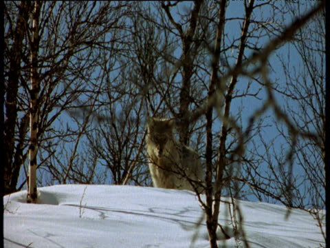 Wolf sits amongst trees in snow, Scandinavia