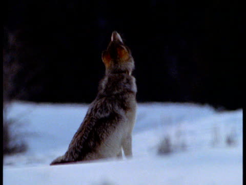 Wolf sitting in snow raises head and howls, Alaska