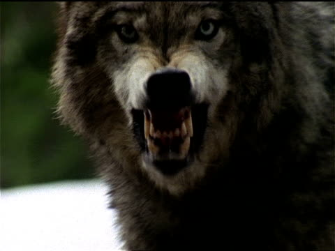 a wolf snaps its jaws and snarls. - 歯をむく点の映像素材/bロール