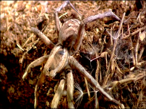 wolf spider (family lycosidae) courtship, palp waving, andalusia, southern spain - hole stock videos and b-roll footage