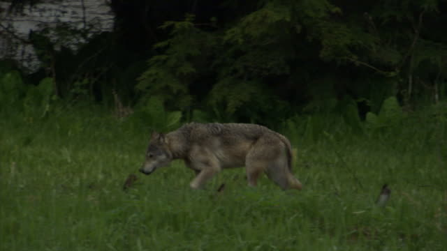 a wolf stalks past a lush thicket. - bbc stock videos and b-roll footage
