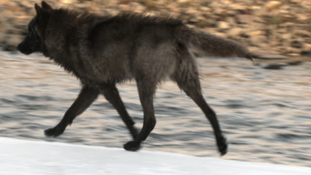 Wolf trots along icy river bank.