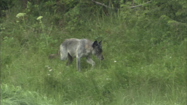 A wolf trots through long grass and noses around.