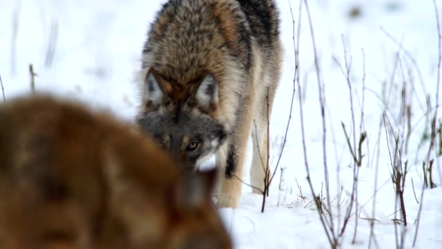 wolf - wolf stock videos & royalty-free footage