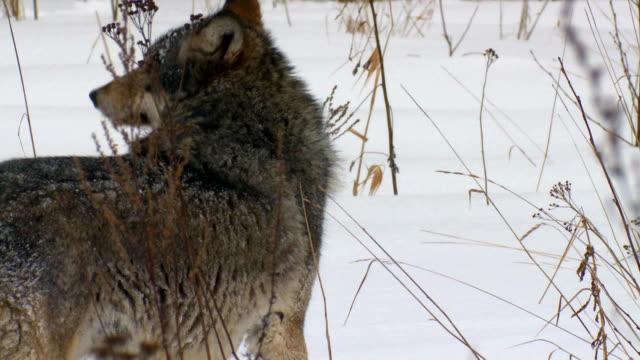 vídeos y material grabado en eventos de stock de lobo - pata com garras