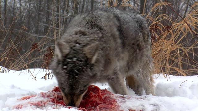 vidéos et rushes de wolf - violence