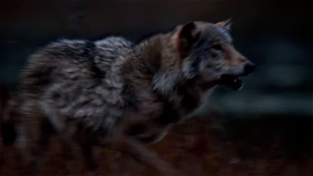 vídeos de stock, filmes e b-roll de lobo - pata com garras