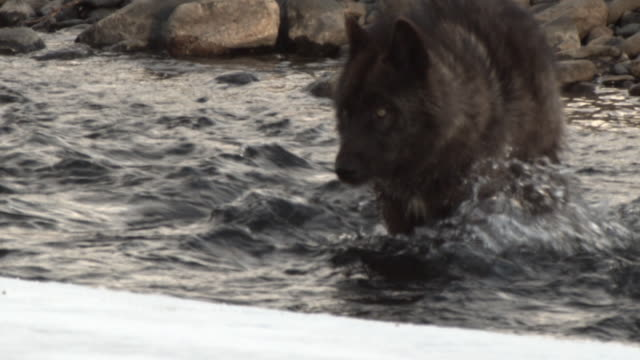 Wolf wades through river.